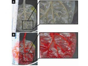 Isabel Rangel Baron - Tejido cardiaco con hojas de espinaca