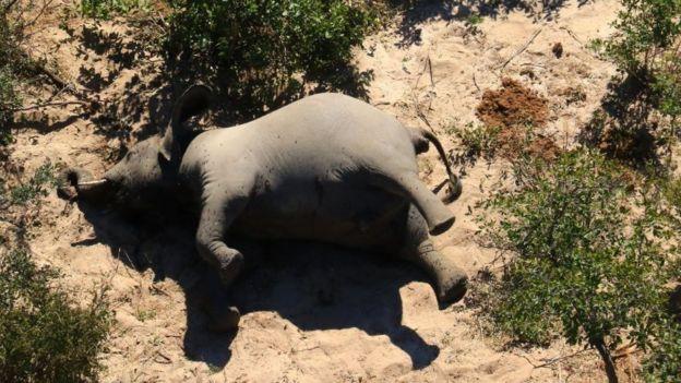 Más de 350 elefantes murieron en Botsuana hasta los momentos la causa es un misterio