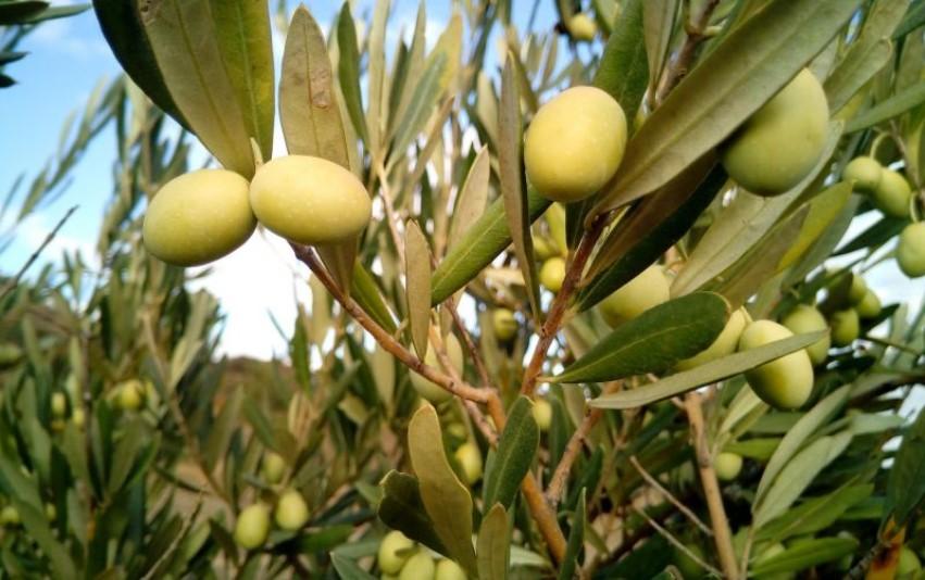 Fabrizio Della Polla - ¡Entérate! Aceite de oliva extra virgen… ¡un poderoso aliado de la salud! - IMG